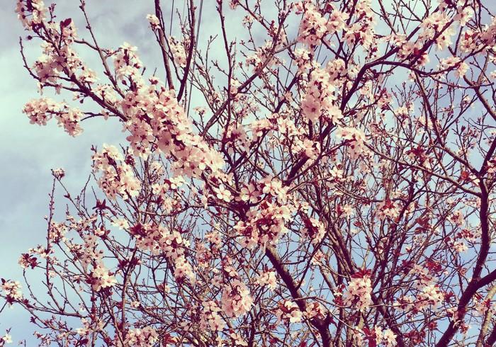 CITY COLLEGEの梅が開花し、日本が死ぬほど恋しくなる。しかし帰国したところでもう居場所はありません!