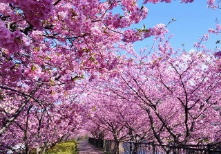 アリスがゆく!春伊豆へ!ひなと桜で祭り三昧。