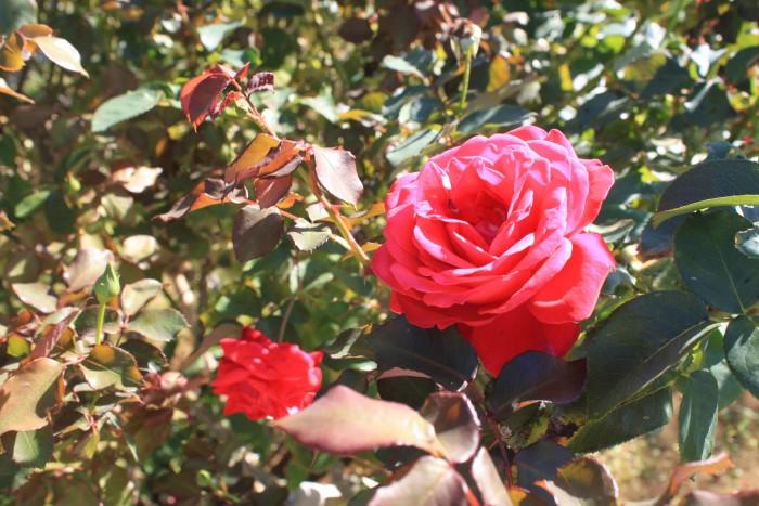 色とりどりのバラが咲き乱れます。