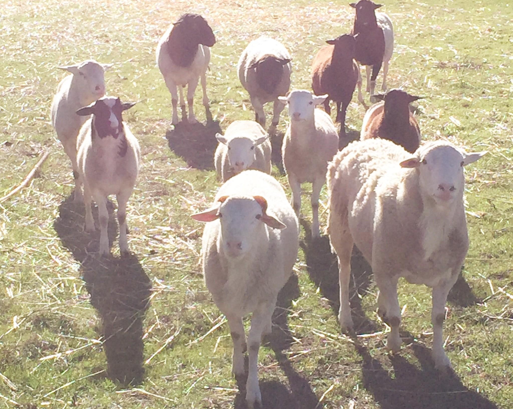 クリスマスはRio Vistaにあるハウスオーナーのご家族のお家におじゃましました。犬なみに懐っこい羊たち。