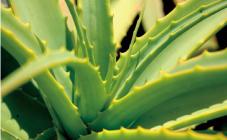 南アルプスの水源地で栽培されたキダチアロエ。