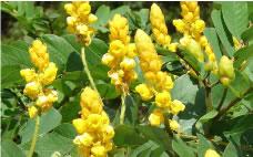 マメ科の落葉植物、キャンドルブッシュ。