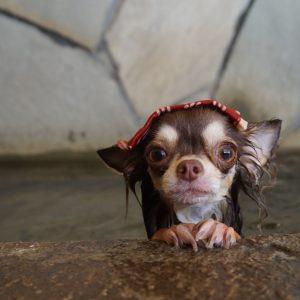 """【犬の温泉でホットドッグ!?】はじめまして、にこにこ """"ニコ"""" だワン #3"""