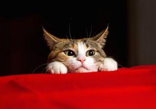 なんで猫なのか? 金魚で決まった飼いたい気持ち|うちに猫がやってきた!#1