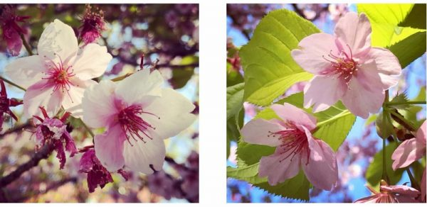 アップ桜 (800×389)