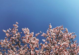 東京は開花! 桜の写真がグ~ンとよくなるプロ技9つでインスタ投稿!|スマホ撮影テク #21