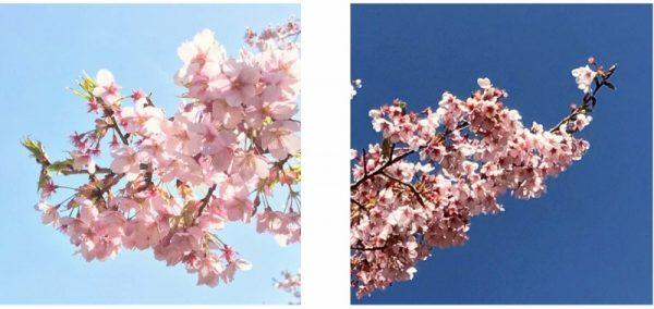 光桜 (800×379)