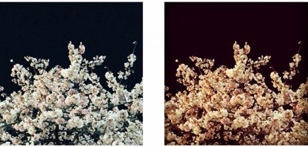 夜桜 (800×382)