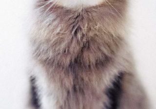 まるで毛玉…ふわふわキュートすぎる猫ちゃん♪ プロの珠玉写真
