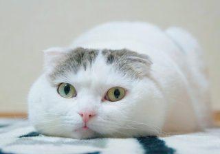 """猫さま大賞・グランプリは…""""お餅フェイス""""のこのお方!"""