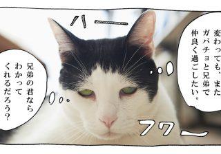 【猫写真4コママンガ】「伝われ!」パンチョとガバチョ #80