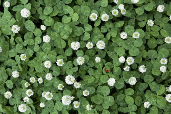 Seven-spot Ladybird in Clover field