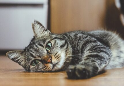 """3本足の""""しじみ""""が「お尻叩いて」アピール クリエイターと猫の物語"""